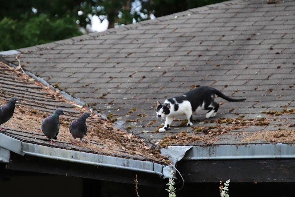 Gatto in allerta a caccia sul tetto
